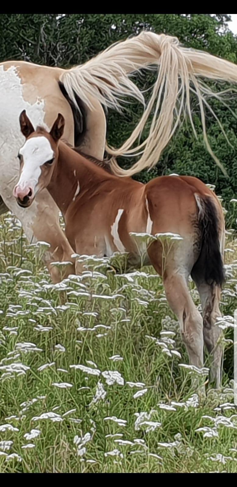 Jungle Diamond - Poulain PP APaint Horse Overo PP APHC et SIRE